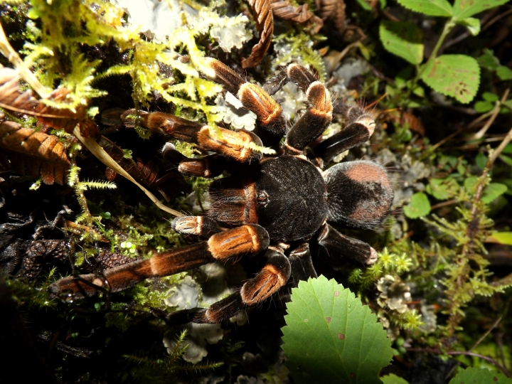 Large spider in the cloud forest...